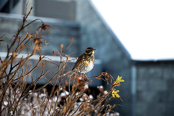 Redwing and Central Bank of Iceland